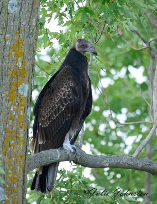 vulture 1 iou
