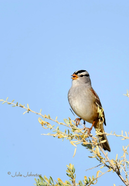 White-Crowned-Sparrow-tree