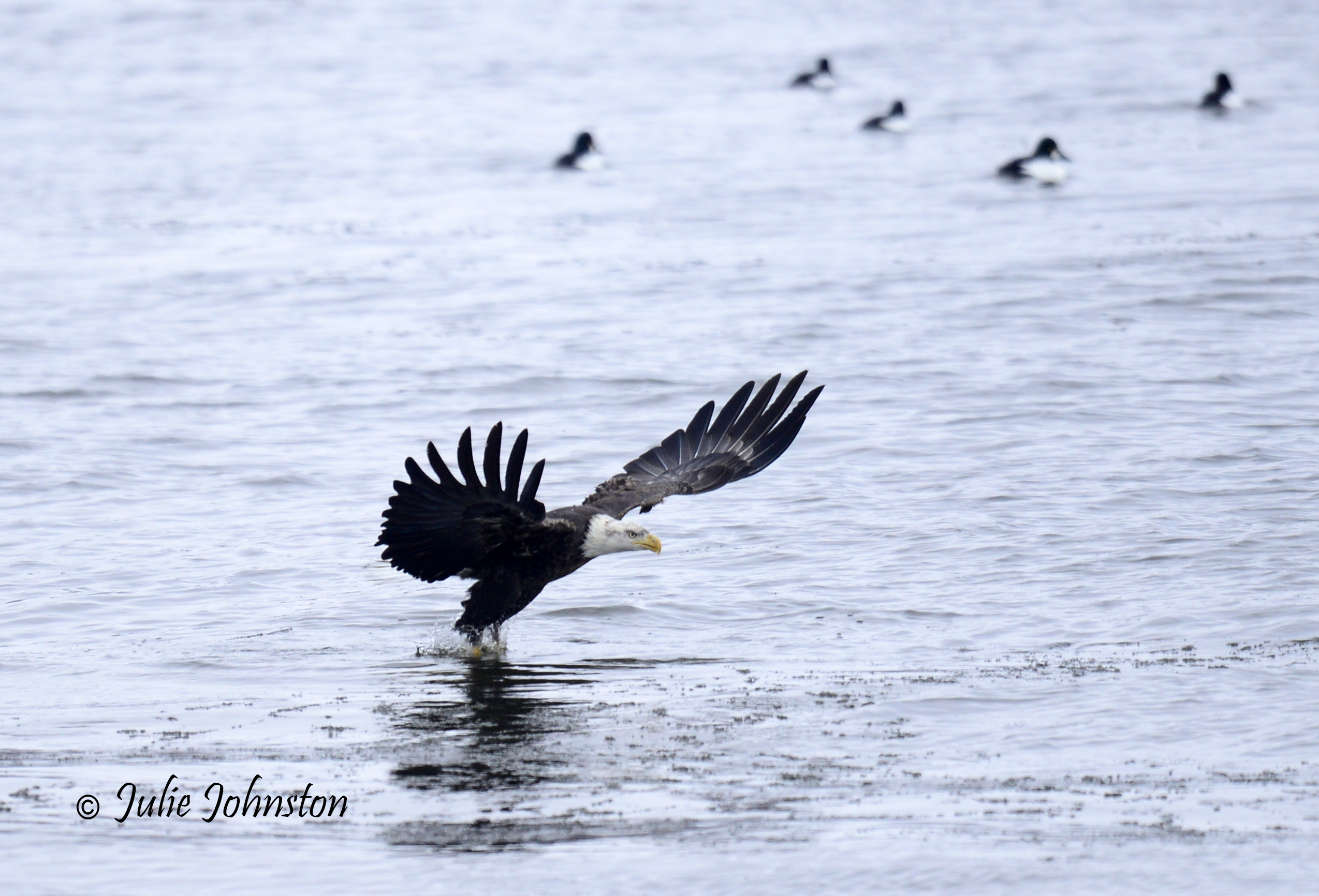 eagle hit water