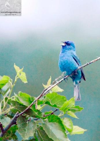 Indigo Bunting Jefferson County 5-30-2018